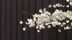 Cherry Blossoms in Front of a Solid Background Stock Footage