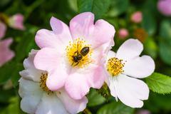Eglantine and bee Stock Photos