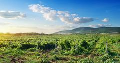 Crimean vineyard Stock Photos