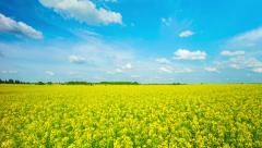 blooming canola field, panoramic 4k time-lapse - stock footage