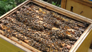 Stock Video Footage of bees in the hive.
