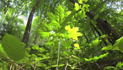 Wide lens shot approximately 10 centimeters above the forest floor Stock Footage