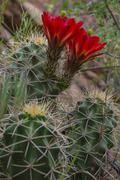 mojave mound cactus - echinocereus triglochidiatus - stock photo