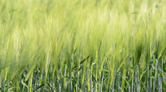 Detail of barley field in the wind ,locked down Stock Footage