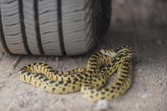 gopher snake under the wheel of a car - stock photo