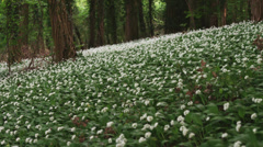 WS TU White wildflowers growing in forest / Wiltshire, UK Stock Footage