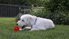 Dog Chewing on Ball Stock Footage