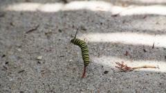Caterpillar climbs stick Stock Footage