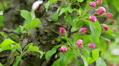 Close-up pink apple tree buds on leafy branch Stock Footage
