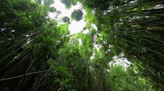 Creaking bamboo canopy Haleakala 8 Stock Footage
