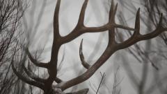 Artistic CU of Bull Elk Antlers Stock Footage