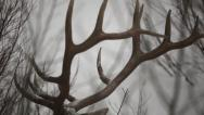 Stock Video Footage of Artistic CU of Bull Elk Antlers