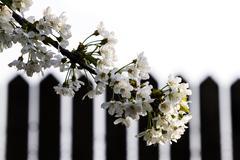 springtime cherry blossom - stock photo