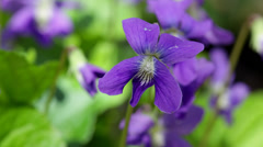 Purple violet flowers in close-up (macro) Stock Footage