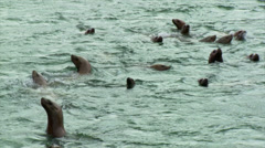 Stellar Sea Lions Stock Footage