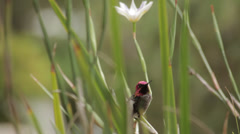 Anna's hummingbird perched in plant Stock Footage