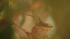 Baby humming bird begs Stock Footage