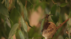 Humming bird lands on nest and feeds chicks Stock Footage