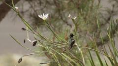 Anna's Hummingbird prunes on plant Stock Footage