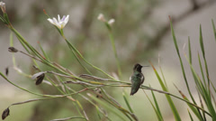 Anna's Hummingbird 2 Stock Footage