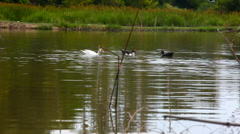 Diving duck in water on the pond Stock Footage
