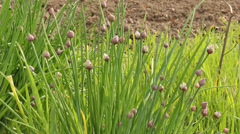 Chives in the garden Stock Footage