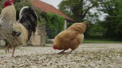 WS Rooster and hen pecking in backyard / Wiltshire, UK Stock Footage