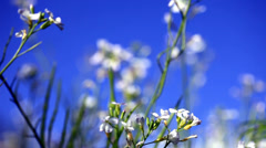 Focus  the white flower Stock Footage