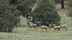 Wildlife Elk herd Rocky Mountains Colorado HD Stock Footage