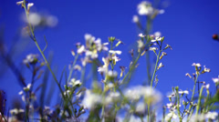White flower with blue Stock Footage