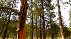 Yellow Striped Tree in a Pine Forest Stock Footage