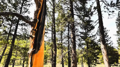 Yellow Tree in a Pine Forest Stock Footage