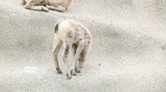 Rocky Mountain Bighorn Sheep Lambs Stock Footage