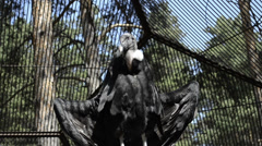 Vulture in the cage Stock Footage