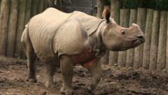 Indian Rhinoceros 1 Zoo Stock Footage