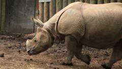 Indian Rhinoceros 2 Zoo Stock Footage