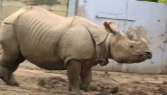 Indian Rhinoceros 3 Running Zoo Stock Footage