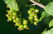 Stock Photo of green currant