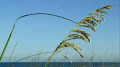 Sea Oats Blowing in the Breeze 4:2:2 Stock Footage