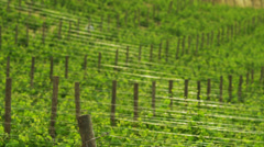 WS R/F People walking amongst vines in winery / Tuscany,Italy - stock footage