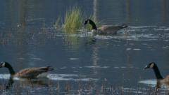 Canadian Geese Stock Footage