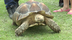 Owner walking large pet tortoise Stock Footage