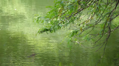 Green leafy branches reflect in green lake water, and a fish Stock Footage