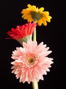 Three beautiful gerbera daisy flowers - pink, red and yellow - stock photo