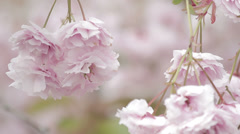 Beautiful Cherry Blossom Stock Footage