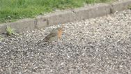 Stock Video Footage of Robin pecking at seeds