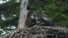 Bald Eagle Fledglings Stock Footage