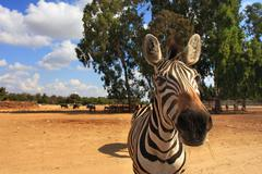 close-up shot of zebra. - stock photo