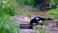 Stock Video Footage of magpie feeding in garden