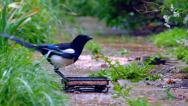 Stock Video Footage of Magpie feeding